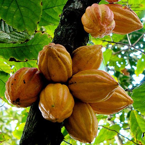Cacao-culture dans le Nyong et Kellé: Vers la production d'un cacao d'excellence